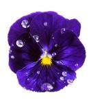 4304viola_flower-1